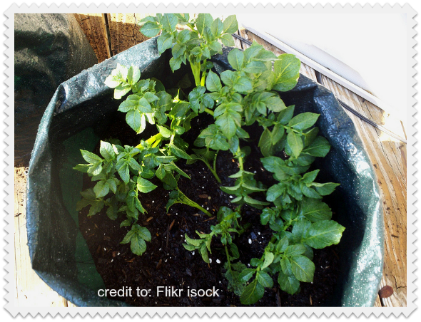 prepping with potatoes: growing potatoes in containers