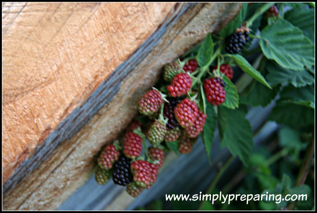 blackberries in beginning backyard gardens
